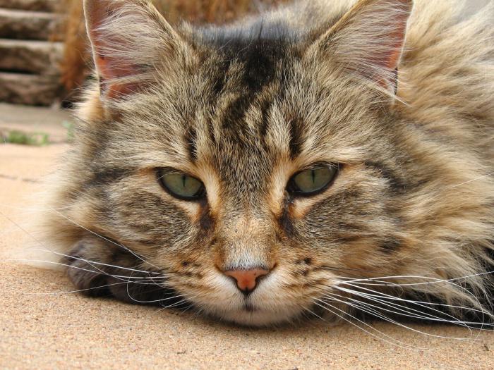 Veľká mačička ejakulácia