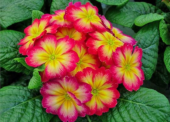 Primrose primrose - güzel bir bitkinin bakımı
